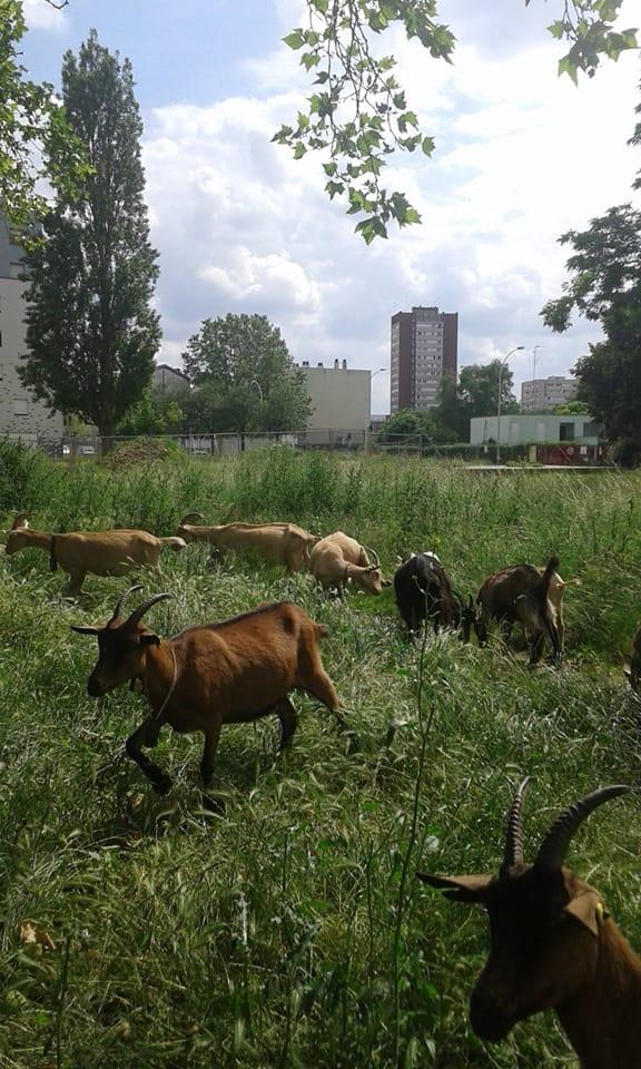 Les chèvres pâturent dans une friche, la bergerie des Malassis